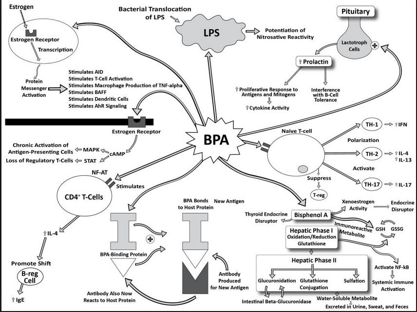 bpa and hormones